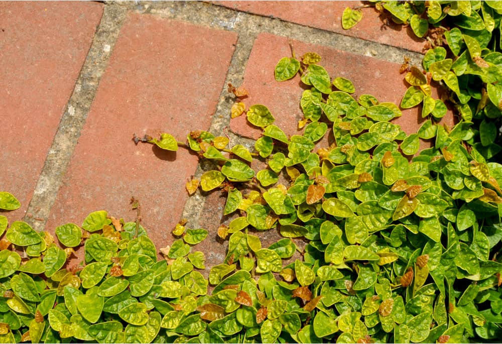 Green creeping plant climbing on red bricks, close up